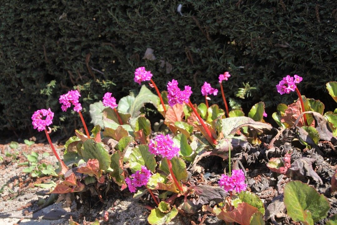 Bergenia cordifolia 'Purpurea' (Schoenlappersplant)
