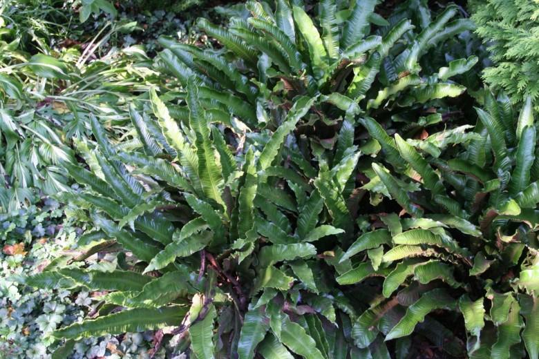 Tongvaren (Asplenium scolopendrium) - p9