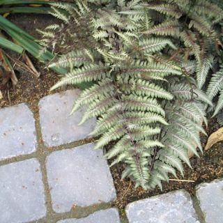 Japanse regenboogvaren (Athyrium niponicum 'Pictum') - p9