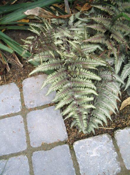 Athyrium niponicum 'Pictum' (Japanse regenboogvaren)