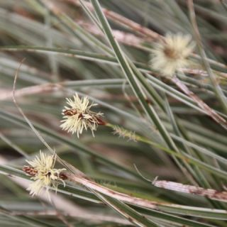 Carex conica 'Snowline' (Vogelpootzegge)