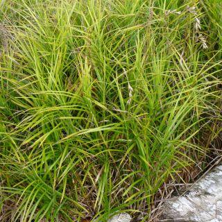 Carex grayi (Morgensterzegge)
