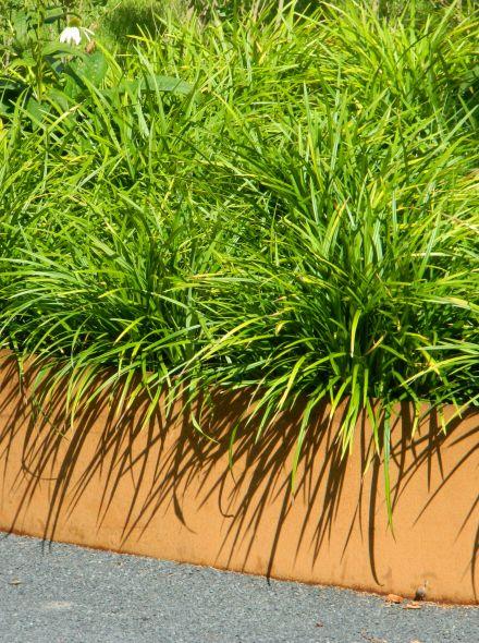 Carex morrowii (Zegge)