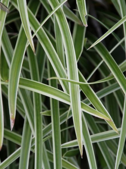 Carex morrowii 'Ice Dance' (Witbonte zegge)