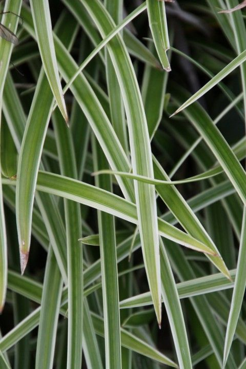 Carex morrowii 'Ice Dance' (Witbonte zegge)