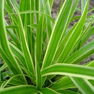 Geelbonte zegge (Carex morrowii 'Variegata') - p9