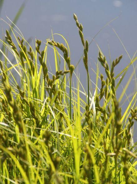 Carex muskingumensis (Zegge, parapluzegge, palmzegge)