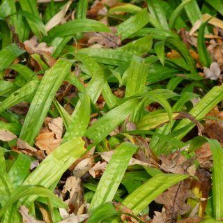Carex plantaginea (Breedbladige zegge)