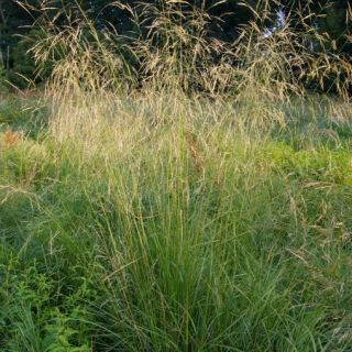 Deschampsia cespitosa (Ruwe smele)