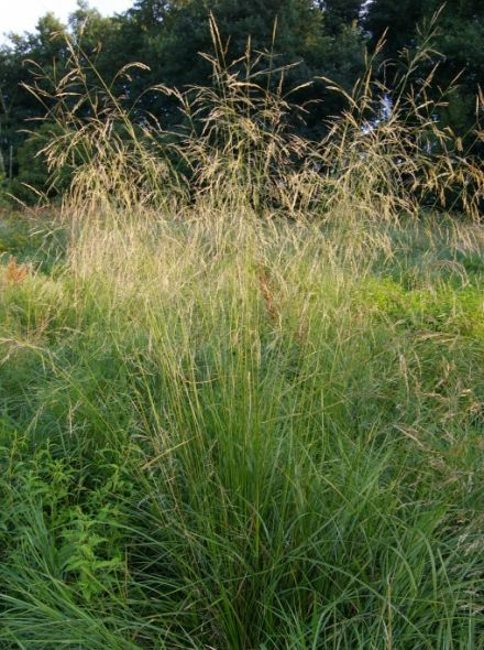 Deschampsia cespitosa (Ruwe smele)