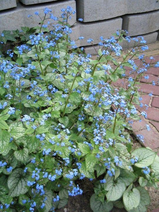 Brunnera macrophylla 'Jack Frost' (Kaukasisch vergeet-mij-nietje)