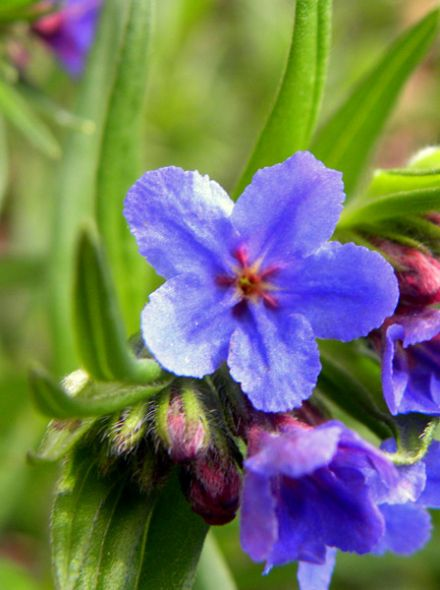 Buglossoides purpurocaerulea (Ruw parelzaad)