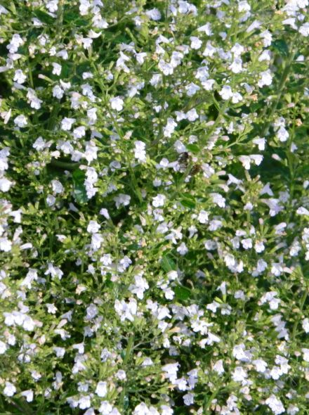 Calamintha nepeta 'White Cloud' (Bergsteentijm)