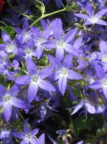 Campanula poscharskyana 'Stella' (Kruipklokje, Klokjesbloem, Klokje)
