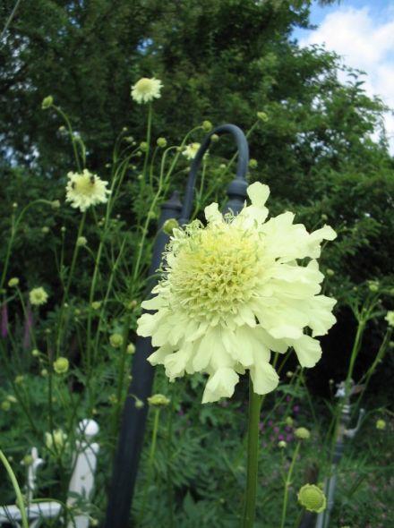 Cephalaria gigantea (schoepkruid, Gele Scabiosa, Gele Reuzenscabiosa)
