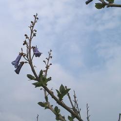 Paulownia tomentosa - Anna Paulownaboom, Keizersboom