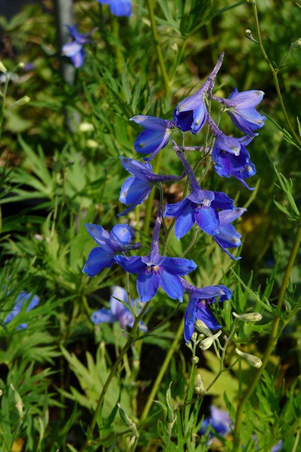 Delphinium belladonna 'Volkerfrieden' (Gentiaanblauwe ridderspoor)