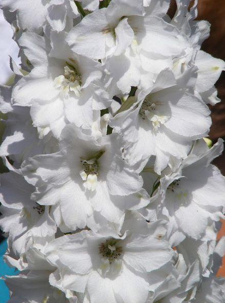 Delphinium pacific 'Galahad' (Witte ridderspoor)