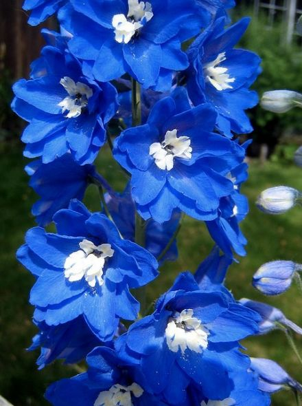 Delphinium pacific 'Summer Skies' (Blauwe Ridderspoor met wit hart)