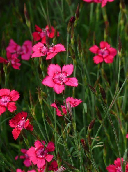 Dianthus deltoides 'Brilliant' (Rozerode steenanjer)