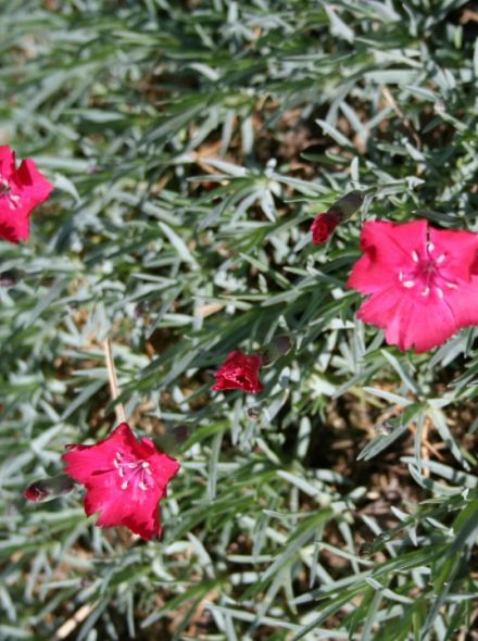 Dianthus gratianopolitanus 'Badenia' (Rotsanjer, Anjer, Tuinanjer)
