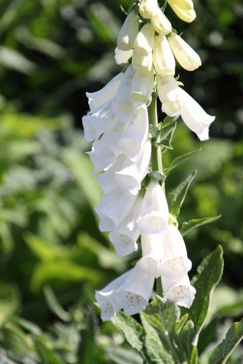 Digitalis purpurea 'Alba' (Witte Vingerhoedskruid)