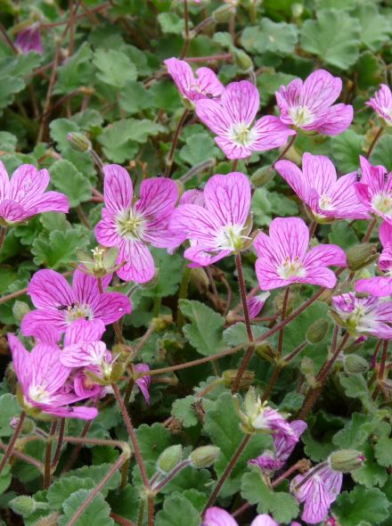 Erodium variabile 'Bishop's Form' (Reigersbek)