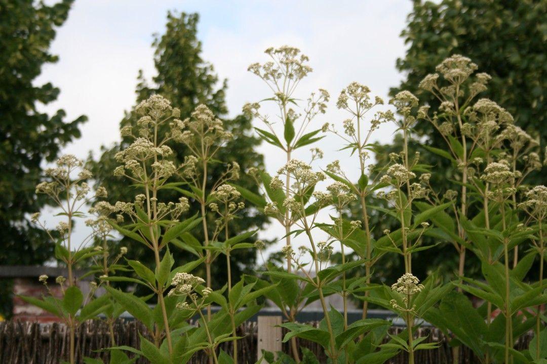 Eupatorium maculatum 'Album' (Leverkruid, witbloeiende koninginnenkruid)