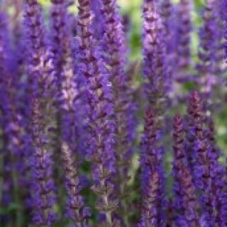 Salvia nemorosa Ostfriesland (Salie, Bossalie, Hain-Salbei, Steppen-Salbei, Woodland sage, Balkan clary)