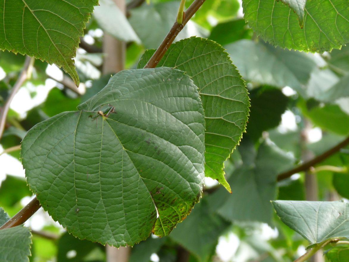 Leilinde  (Tilia europaea 'Pallida' leivorm)