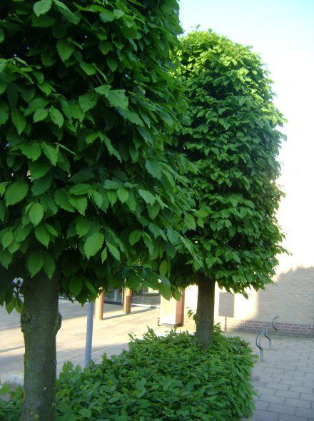 Leiboom haagbeuk (Carpinus betulus leivorm)