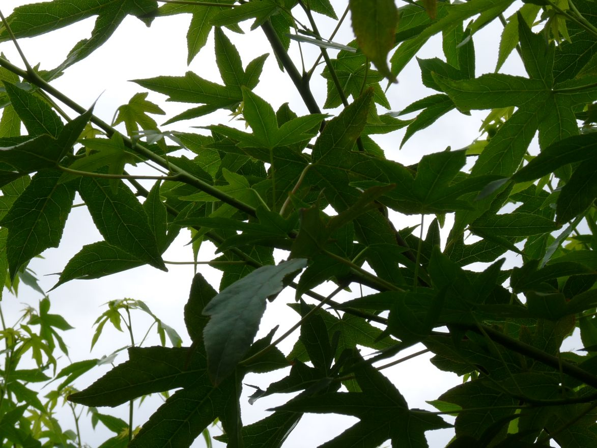 Leiboom Amberboom (Liquidambar styraciflua Worplesdon leivorm)