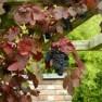 Vitis vinifera Purpurea (Sierdruif, Wijnstok, Druivelaar, Weinrebe (Traube), grapevines)
