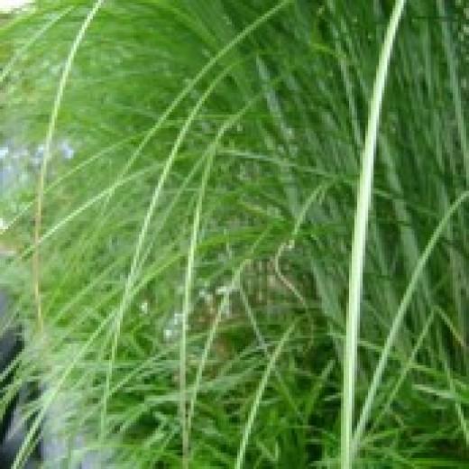 Miscanthus sinensis 'Gracillimus' (Prachtriet, Chineesriet, Chinaschilf, Chinese silver grass)