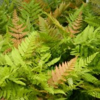 Dryopteris erythrosora (Rode sluiervaren, Herfstvaren, Rotschleierfarn, Rosy Buckler, Autumn Fern)