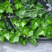 Hedera Hibernica (Klimop, Efeu, Atlantic ivy, Irish ivy)