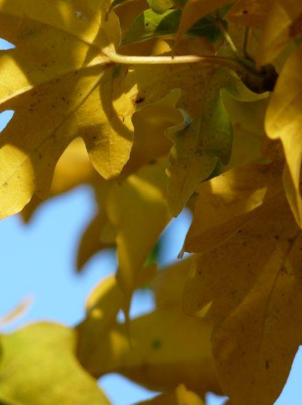 Leiboom Veldesdoorn (Acer campestre 'Elsrijk' leivorm)