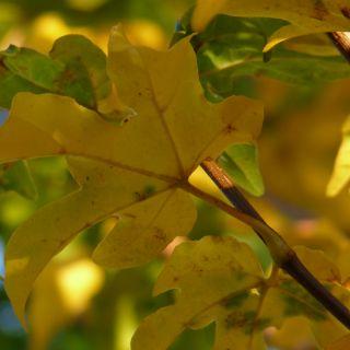 Acer campestre 'Elsrijk' (Veldesdoorn, Spaanse aak)