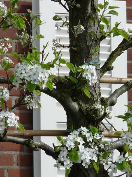 Leiboom sierpeer (Pyrus calleryana Chanticleer leiboom)