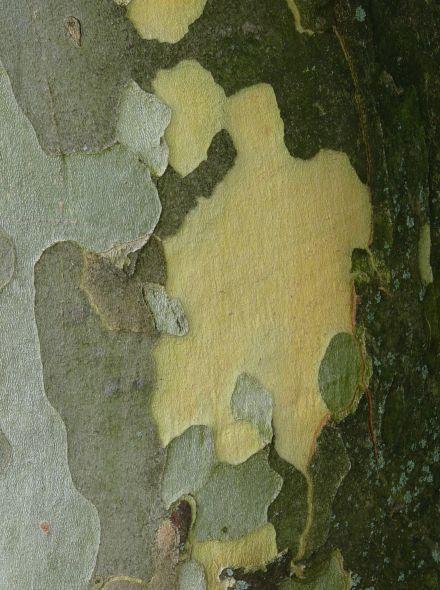 Leiboom Plataan (Platanus hispanica leiboom)
