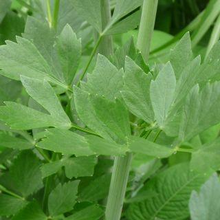 Levisticum officinale (Lavas, Maggiplant, Liebstöckel, Maggikraut, Lovage)
