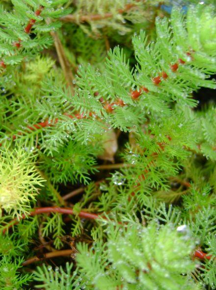 Myriophyllum procerpinacoides (Vederkruid) per 5 bundels