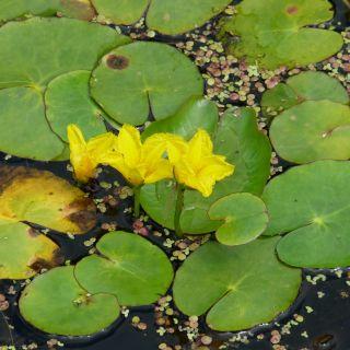 Nymphoides peltata (Watergentiaan)