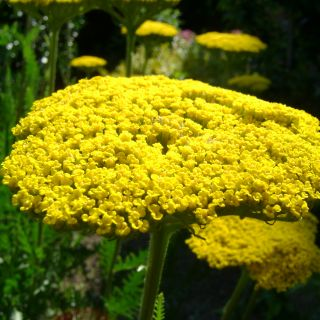 Achillea filipendulina 'Cloth of Gold' (Duizendblad)