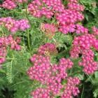 Achillea millefolium 'Cerise Queen' (Duizendblad)
