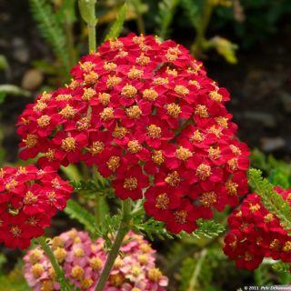 Achillea millefolium 'Paprika' (Duizendblad)