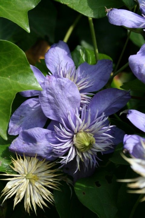 Clematis 'Blue Light' (Bosrank of bosdruif)