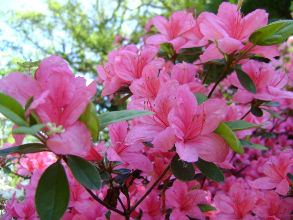 azalea 39 anouk 39 rhododendron 39 anouk 39 de tuinen van. Black Bedroom Furniture Sets. Home Design Ideas