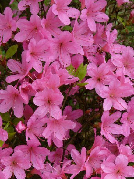 Azalea 'Geisha Pink' (Rhododendron 'Geisha Pink')