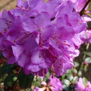 Azalea 'Geisha  Purple' (Rhododendron 'Geisha  Purple')